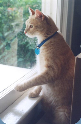 Pet cat looking out window.